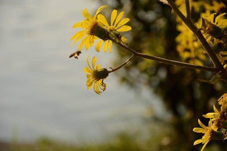 ape crisantemo
