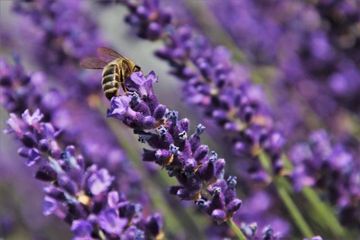 le piante da coltivare per le api