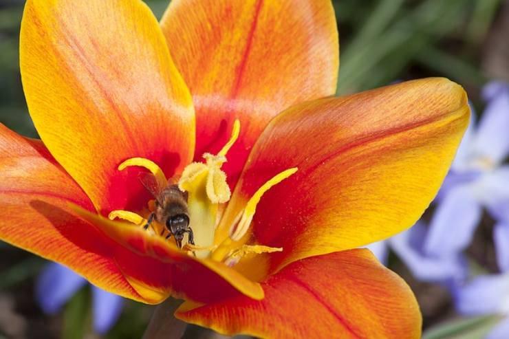 ape tulipano