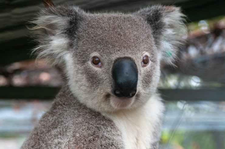 La tenerezza del marsupiale (Foto Pixabay)