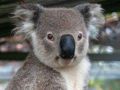 Koala in primo piano (Foto Pixabay
