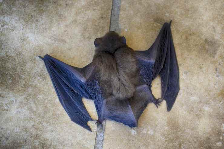 Pipistrelli e la relazione con il coronavirus (Foto Pixabay)