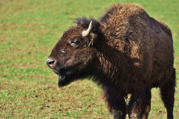 Bufalo (Foto Pixabay)