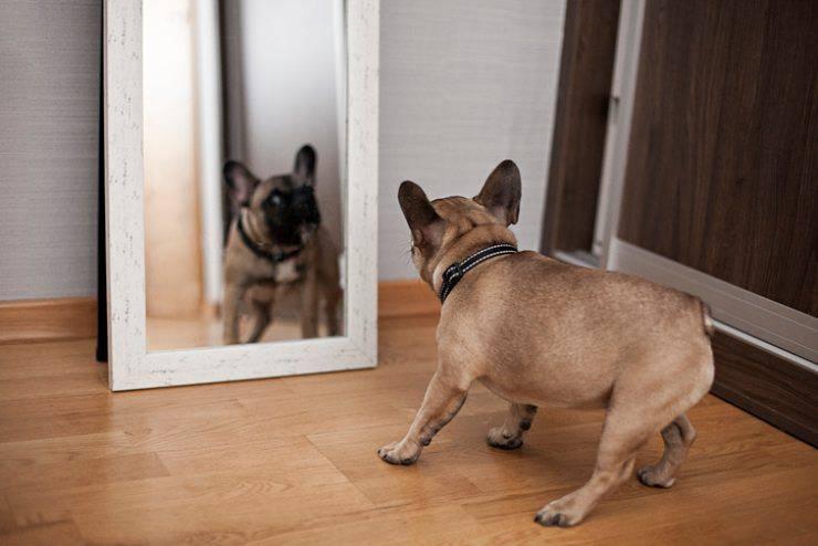 cane davanti allo specchio