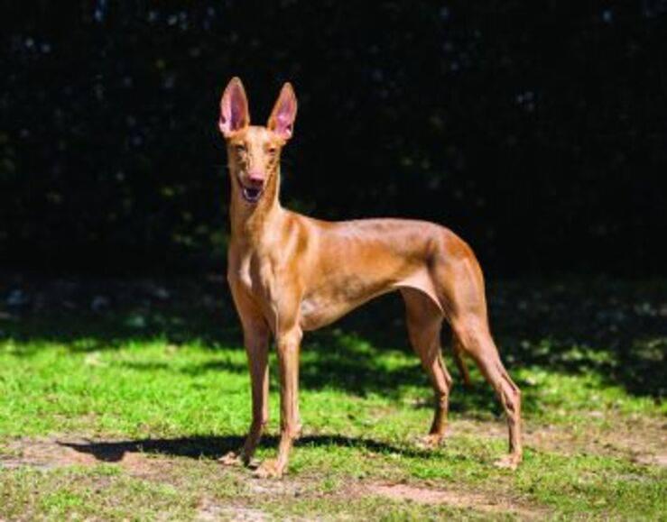 Cane Egitto