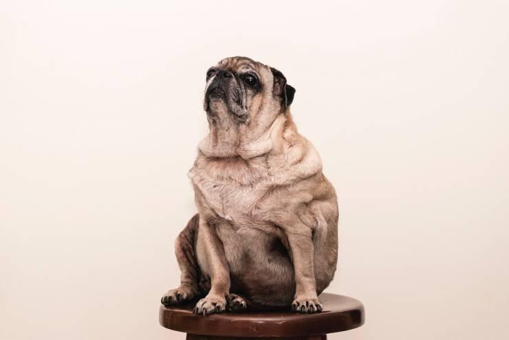 cane in sovrappeso