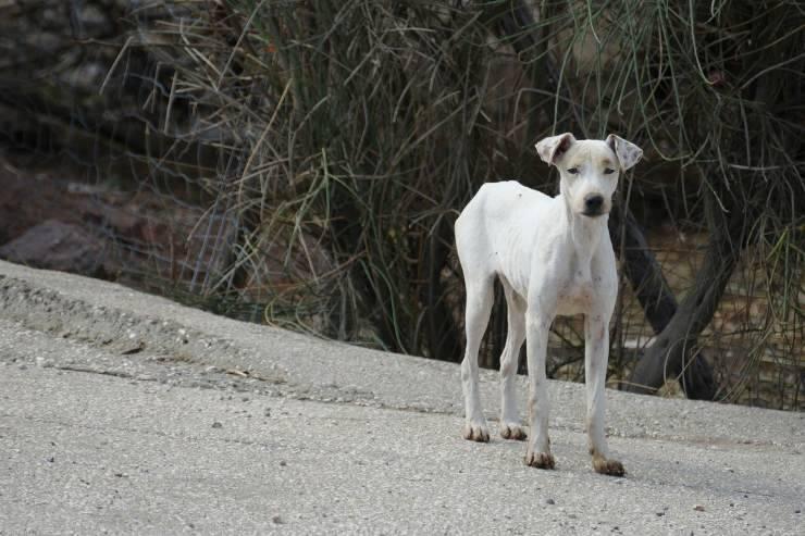 cane magro e debole