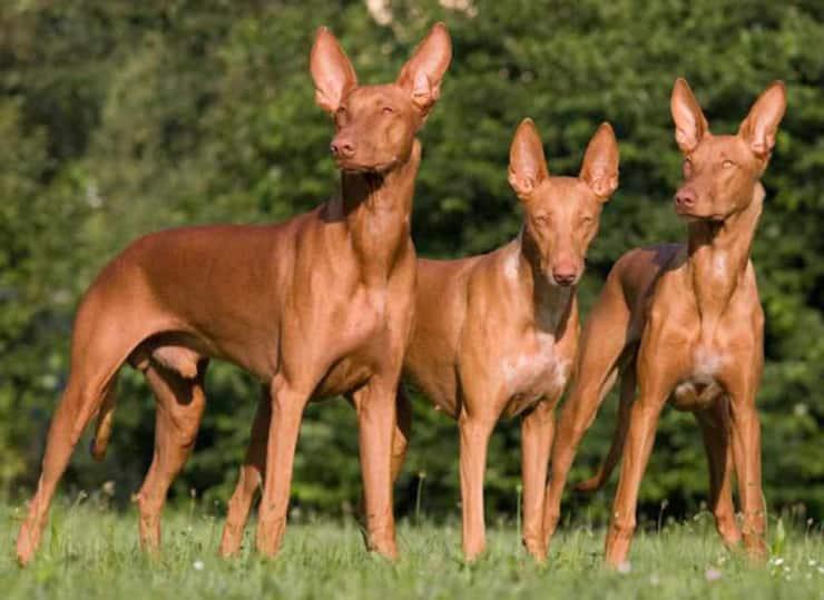 Cani Egitto
