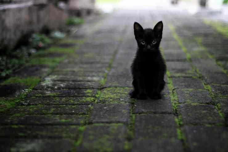 Gattino nero (Foto Pixabay)