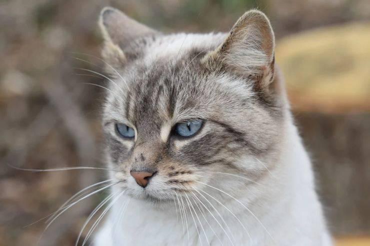 gatto estro calore