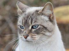 problemi orecchie gatto