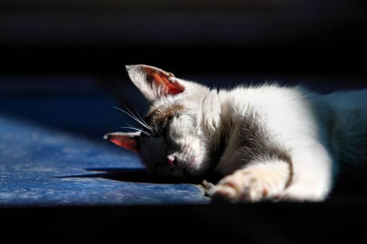Sette vite dei gatti