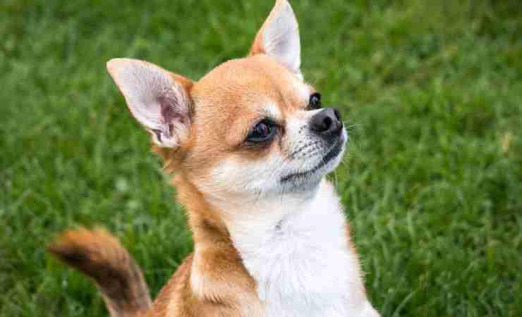 Lo sguardo attento del cagnolino (Foto Pixabay)