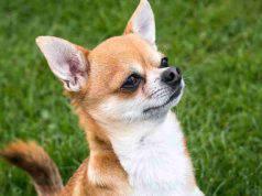 Chihuahua attento (Foto Pixabay)
