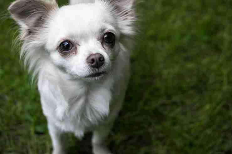 Sguardo malinconico del cagnolino (Foto Pixabay)