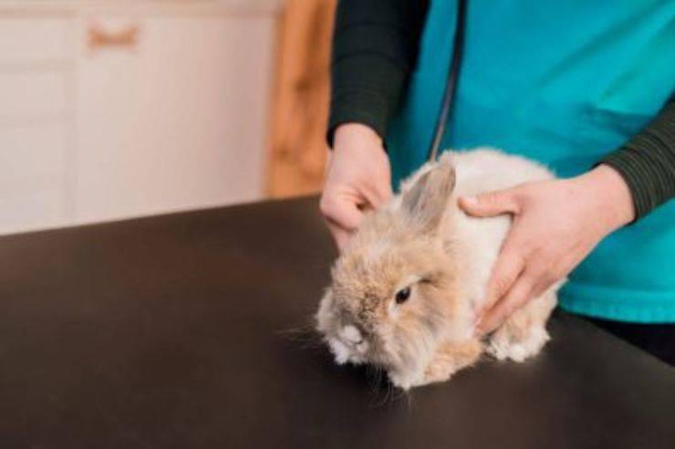 coniglio veterinario