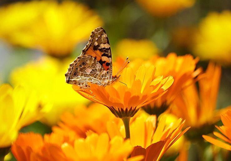 curiosita sulle farfalle