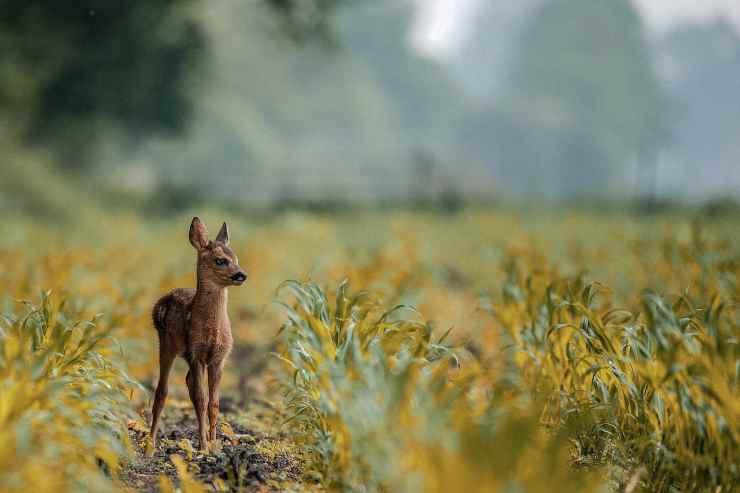 Cucciolo di cervo (Foto Pixabay)