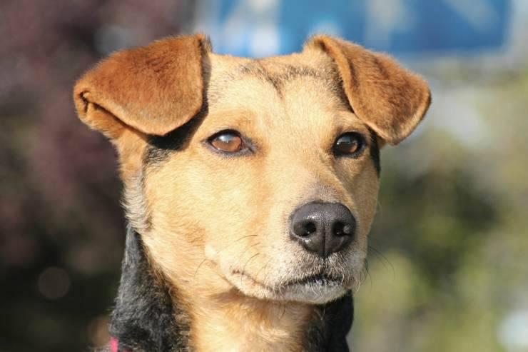 Il cane (Foto Pixabay)