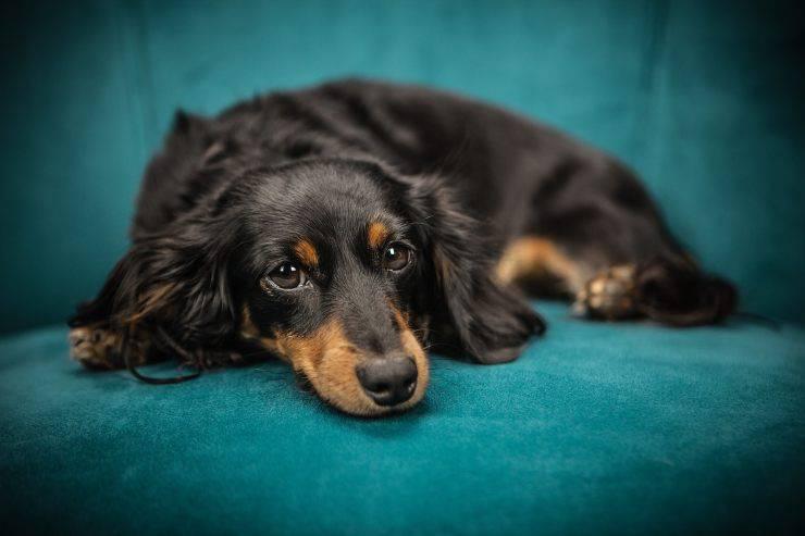 cane triste incontinente