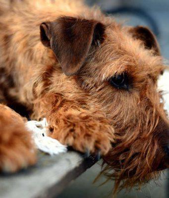 cimurro nel cane sintomi