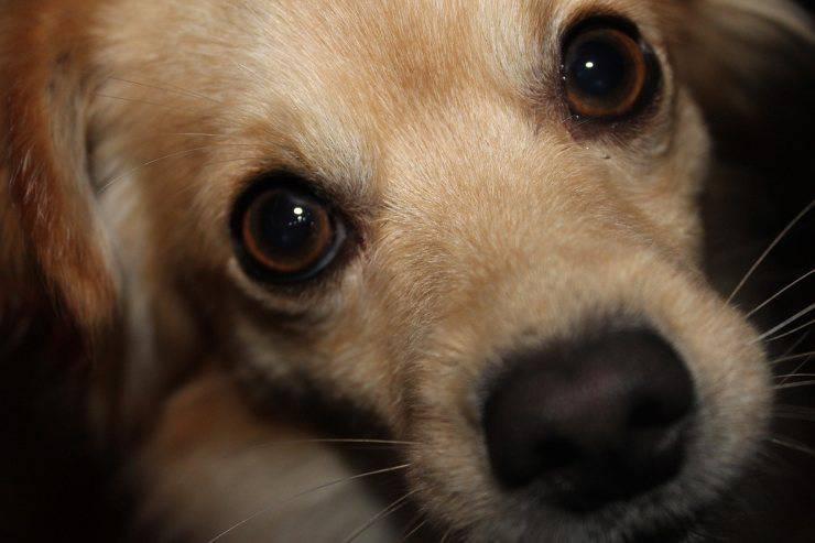 cane occhi cucciolo