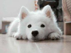 cucciolo bianco (Foto Pixabay)