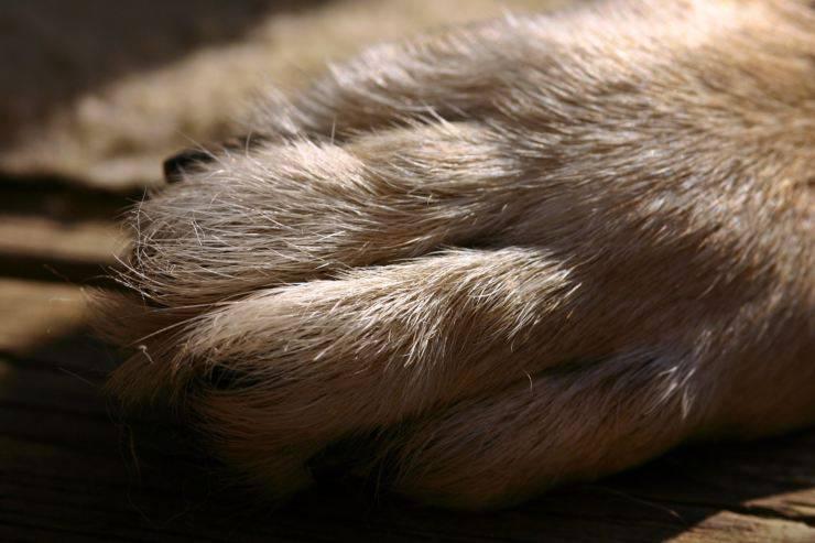 Unghia rotta del cane
