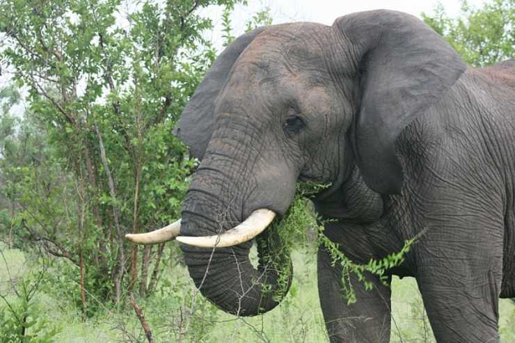 elefante mangia