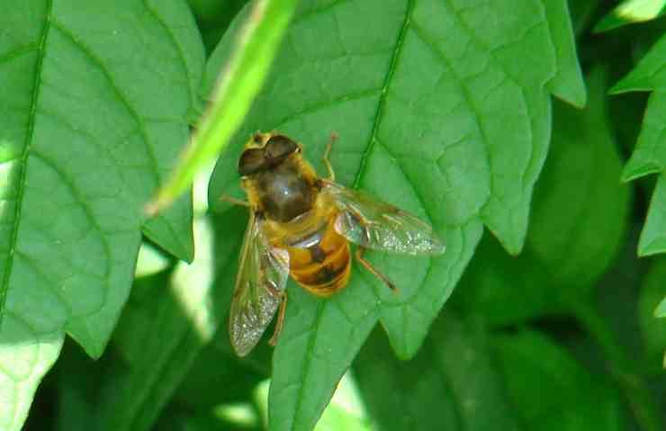 Un'ape sulla foglia (Foto Pixabay)