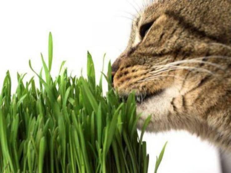 gatto erba gatta