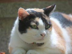Infiammazione dei linfonodi nel gatto