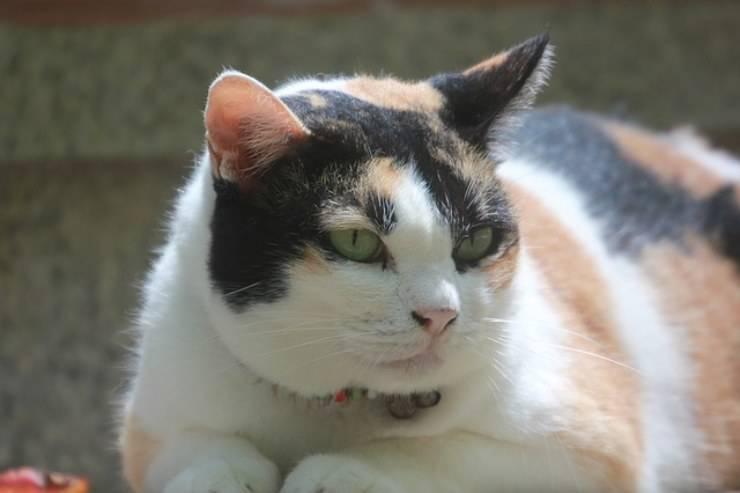 infiammazione dei linfonodi del gatto