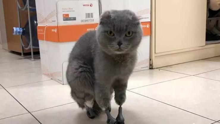 Dymka gatto con 4 protesi