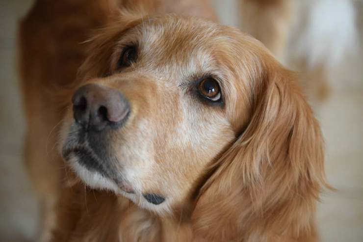 Golden Retriever (Foto Pixabay)