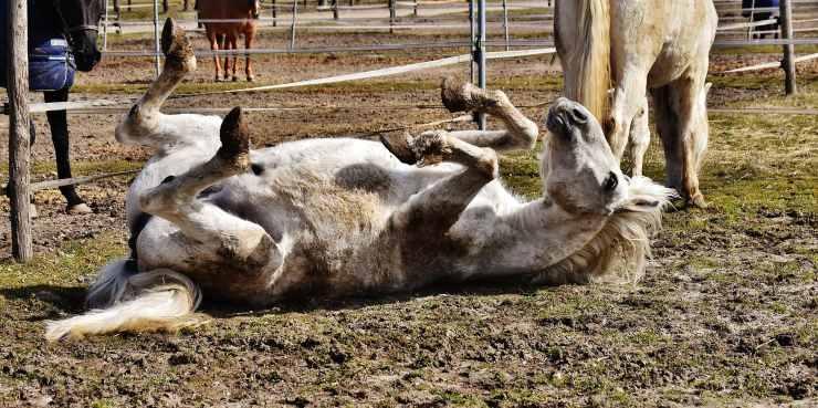 Cavallo obeso