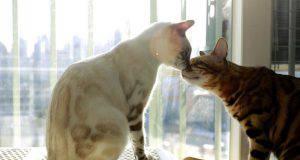 i gatti riconoscono davvero gli altri gatti
