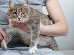 gravidanza gatto fasi