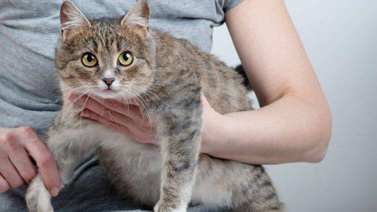 gravidanza gatto