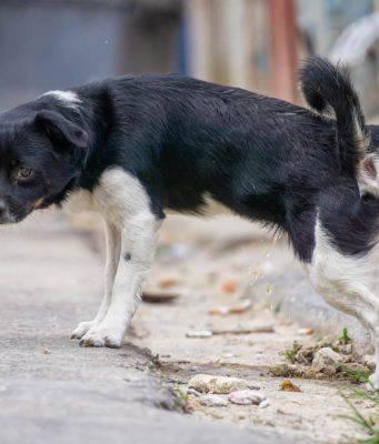 urina scura cane