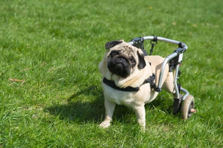 cane paralizzato cure