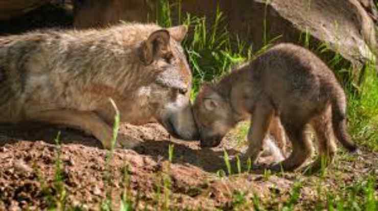 Il lupo e il cucciolo Facebook