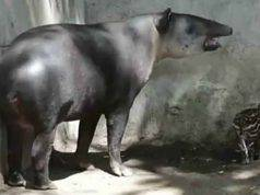La cucciola di tapiro (Foto video)