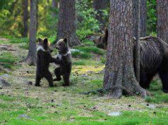 Gli orsi a cerchio (Foto Instagram)