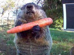 La marmotta con la carota (Foto video)