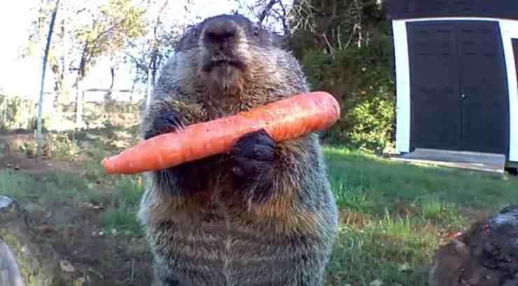 La marmotta dispettosa (Foto video)