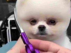 Il barboncino dal parrucchiere (Foto video)