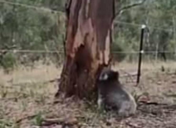 Il koala in procinto di salire (Foto video)