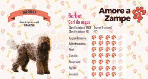 infografica cane barbet