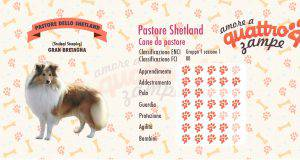 Pastore delle Shetland scheda razza